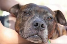 Billie Jean is an adoptable Pit Bull Terrier Dog in New Orleans, LA. Billy Jean is one of our Katrina dogs who still remains here, even after all these years. Like so many of the dogs from this disast...