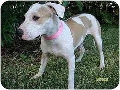 Houston, TX - American Bulldog/American Pit Bull Terrier Mix. Meet Abba, a dog for adoption. http://www.adoptapet.com/pet/3004325-houston-texas-american-bulldog-mix