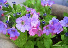 Lungenkraut - wunderschön und toll für Farbe an schattigen Plätzen im Garten/Balkon