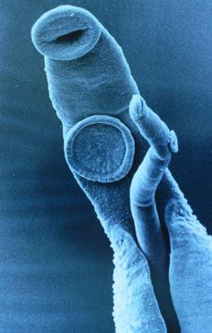 Schistosoma mansoni mannetje en vrouwtje innig verstrengeld.
