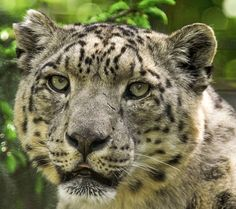 ~~snow leopard by Peter Hausner~~