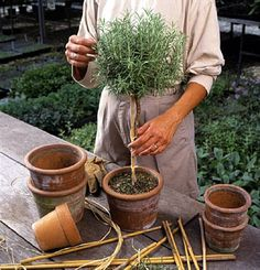How to grow rosemary topiaries.
