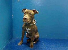 SAFE --- URGENT - Brooklyn Center   ROCKY - A0985956   MALE, BR BRINDLE, PIT BULL MIX, 8 mos  STRAY - STRAY WAIT, NO HOLD Reason STRAY  Intake condition NONE Intake Date 11/25/2013, From NY 11223, DueOut Date 11/28/2013 https://www.facebook.com/photo.php?fbid=654788327906491&set=a.244675022251159.79281.239063359478992&type=1&permPage=1#!/photo.php?fbid=714763225203226&set=pb.152876678058553.-2207520000.1385570170.&type=3&theater