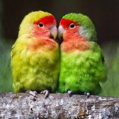 pictures of lovebirds  http://telatnews.blogspot.com/2014/08/pictures-of-lovebirds.html