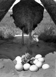 """vintageeveryday: """" A baby sitting in a pile of Ostrich eggs with the Ostrich stood behind, 1939. """""""