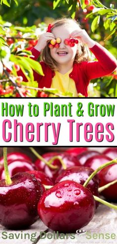 How to Grow Cherry Trees | How to plant and grow a cherry tree #gardening #HowtoGrow #Homesteading