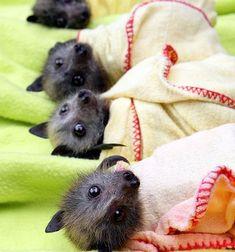 piccoli pipistrelli