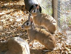 Patagonian Cavy looks like a cross between a capybara & a