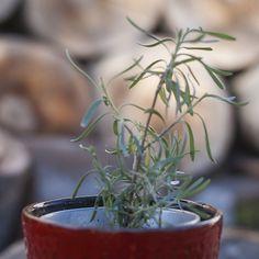 Lavanda - Tăiere, Înmulțire - Magazinul De Acasa Gardening, Urban, Plant, Life, Lawn And Garden, Yard Landscaping, Horticulture