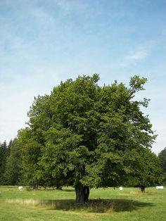 Vrijstaande haagbeuk in de zomer. De haagbeuk (Carpinus betulus), helzenteer, hesselteer,[1] steenbeuk, jukbeuk of wielboom is een 15-25 m hoge boom uit de berkenfamilie (Betulaceae).
