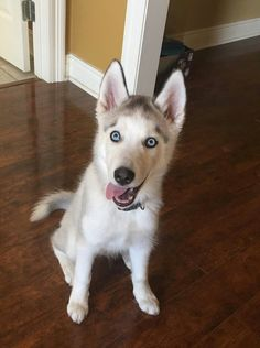 Imgur The Most Awesome Images On The Internet Siberian Huskies - The 25 best posts about huskies on the internet