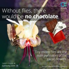 Without flies there would be no chocolate...