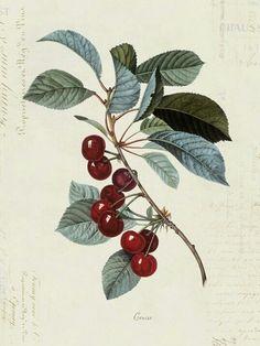 Cherries vintage