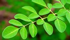 Moringa: Nutrition Facts and Health Benefits