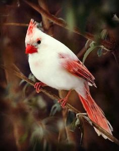 Leucistic Cardinal.. really is beautiful..this is an absence of pigment in some of the feathers.