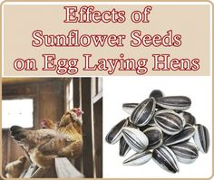 The Homestead Survival | Effects of Sunflower Seeds on Egg Laying Hens | http://thehomesteadsurvival.com Raising Chickens & Homesteading