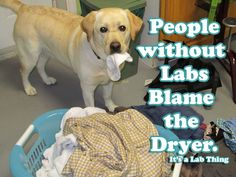 LABS Galore | Its a Lab Thing - @Melanie Bauer Bauer Bauer Massey this reminds me of little miss Lola... Zoey is pretty bad about it too though