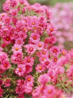 9. #septembre-Aster - Janvier à #décembre : 12 mois de fleurs de…