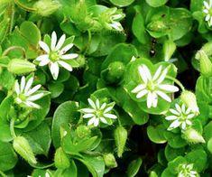 Tyúkhúr. (Stellaria media)GyógyhatásaiHagyományosan a testsúly csökkentésére használják. Enyhe vizelet-és hashajtó. Enyhe gyulladáscsökkentő hatású. Csökkenti a torokfájást.Kiváló vese-és májtisztító, valamint oldja a Plants, Planters, Plant, Planting