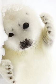 Baby harp seal, cuddle wiff me