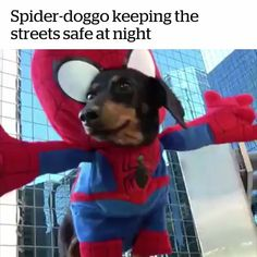 Spider doggo to the rescue!   Credit: Crusoe the Celebrity Dachshund