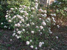 viburnum burkwoodii burkwood - Google zoeken