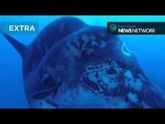 Divers off Portugal recently encountered a gigantic sunfish that dwarfed its human admirers, as they surrounded the docile behemoth to document their unforgettable experience.  The accompanying rare footage was captured by Michael Pereria.   Read more at http://www.grindtv.com/wildlife/divers-off-portugal-dwarfed-by-massive-sunfish/#f6JuKSLV4Zm25V7y.99      Divers off Portugal dwarfed by massive sunfish | GrindTV.com