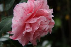 "Camellia jap. ""Bella Romana"""