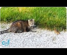 Chipmunk Stands Up Against Cat   Alvin Gets Away : Video Clips From The Coolest One