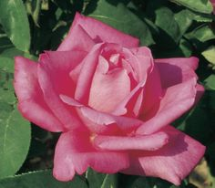 A large rose pink bloom with a rich and sweet fragrance. Large Flowers, Cut Flowers, Great Cuts, Hybrid Tea Roses, Pink Roses, Fragrance, Bloom, Trees, Perfume