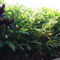 Tiger Grass such a terrific privacy screen