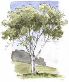 Oak SBS 11