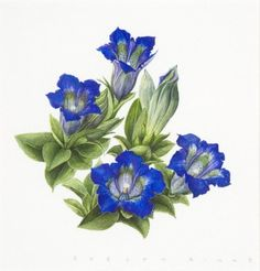 botanical illustration gentiana - Google Search