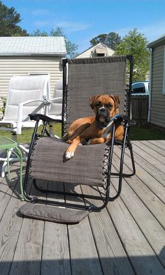 """""""Sun Bathing Boxer Dog"""" that's just about every large chair in our house..."""