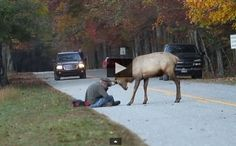 Stupid Photographer Get Close To Elk, EPIC 7 Minute Battle Ensues And It's All Caught On Camera