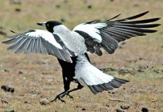 Australian Magpie - Cracticus tibicen, - Google Search These birds are dangerous when nesting.  Tend to dive on peoples heads.(gb)