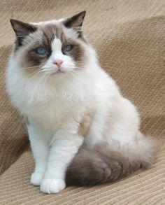 CH Kebekat Rocko of Manuselina Cat   Pawshake N.T.
