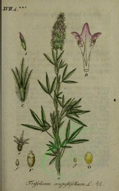 trifolium angustifolium - high resolution image from old book. Old Book Pages, Art Clipart, Picture Collection, Beautiful Wall, Botany, Wall Collage, Herb Plants, Clip Art, Scrapbook