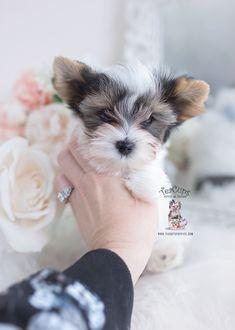 parti-yorkie-220-ac Micro Teacup Yorkie, Teacup Yorkie For Sale, Yorkie Puppy For Sale, Shih Tzu Puppy, Shih Tzus, Toy Yorkie, Biewer Yorkie, Wire Fox Terrier Puppies, Toy Yorkshire Terrier