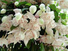 Fuchsia 'Pink Marshmallow' Garden Whimsy, Garden Art, Garden Trees, Garden Plants, Pink Marshmallows, Tropical Landscaping, Beautiful Flowers, Herbs, Fairy Glen