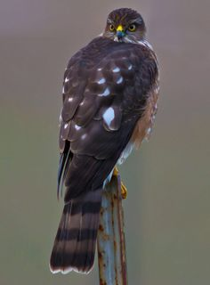 Sharp-shinned Hawk by Sparty Rodgers / 500px