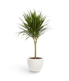 Tall Dracaena plant in a white planter - The Sill
