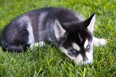 Husky Alaskan Malamute mix