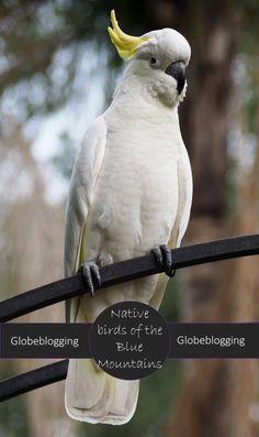 Native Australian Birds of the Blue Mountains, in my backyard! ~ Globeblogging