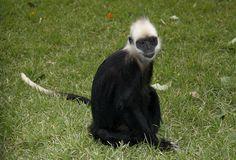 very beautiful,Presbytis leucocephalus,white head monkey  White-headed langur/ Presbytis leucocephalus    https://www.youtube.com/watch?v=RuNtc-uiao4