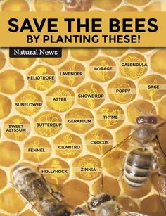 Save the bees by planting these at your backyard. Protecting the honey bee is vital for our planet. Spread the message. Bee Friendly Plants, Bee Friendly Flowers, Potager Bio, Backyard Beekeeping, Natural News, Save The Bees, How To Keep Bees, How Bees Make Honey, Dream Garden