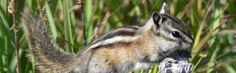 A beautiful tiny chipmunk. Photo taken in the Yukon, Canada. Yukon Canada, Max Mara, Passion, Beautiful