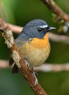 Snowy-browed Flycatcher (Ficedula hyperythra) found in Asia, China and India, male