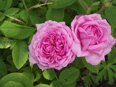 Madame Boll rosier ancien