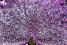 purple peacock